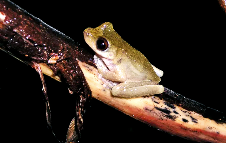 Small frog with big black eyes clinging to a tree branch.