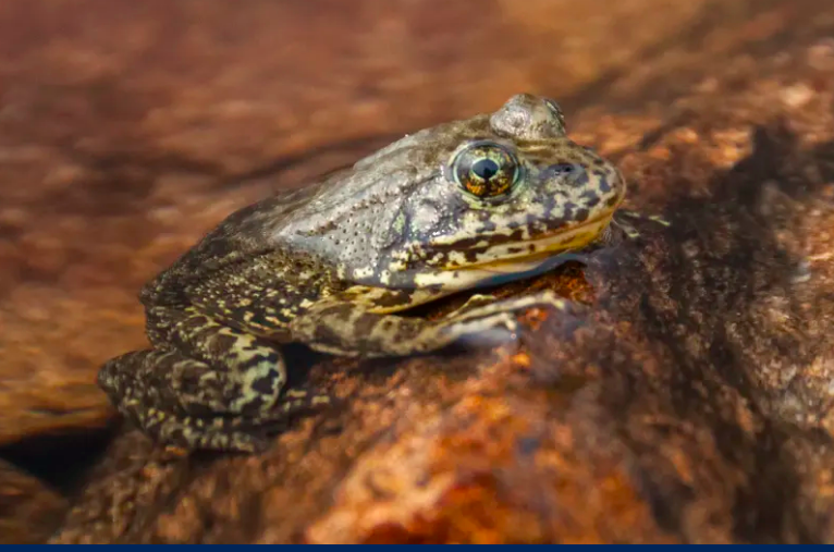 Frog with tan and black pattern, eyes with vertical pupils, sitting on a rock.