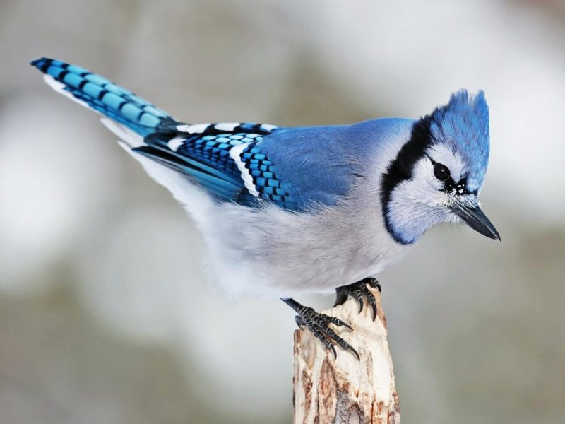 Blue crested bird with black feet & complex blue and white pattern on tail end.