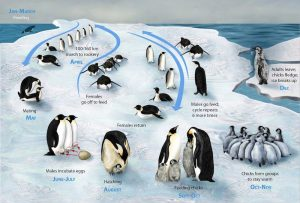 A figure illustrating the breeding cycle of emperor penguins.