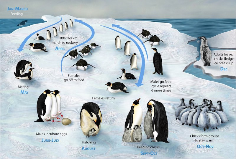Penguins, with brooding fathers in the foreground and males' and females' routes back and forth to the sea.