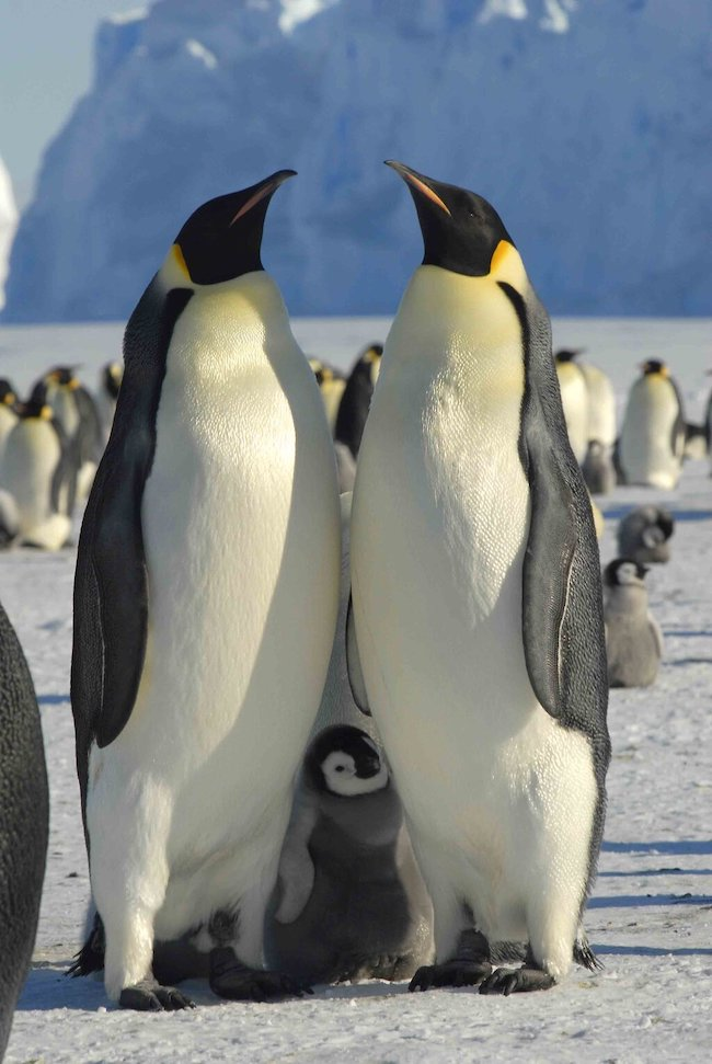 Two adult emperor penguins standing very close together with a little chick between them.