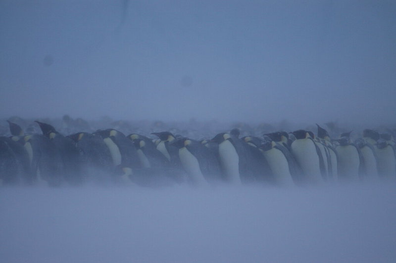 Many emperor penguins standing close together leaning into the wind and almost obscured by blowing snow.