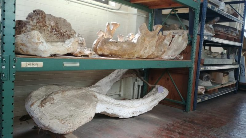 Skull part with tusks looking extra thick because of plaster coating.