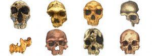 Artist's depiction of 8 human skull fossils.
