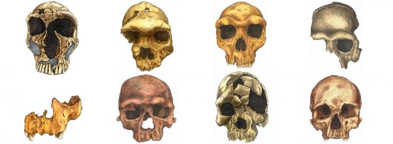 Artist's depiction of 8 human skull fossils.