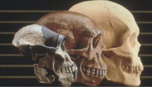 An array of 3 photos, in ascending chronological order, of human skulls.