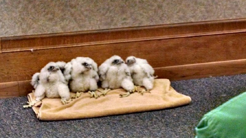 4 fuzzy baby falcons sitting on a folded towel on carpet with their big feet sticking out.