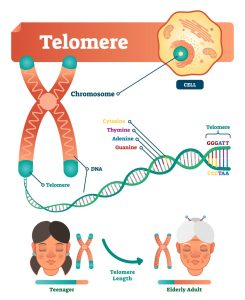 Illustration of orange X of chromosomes with telomeres as green tips