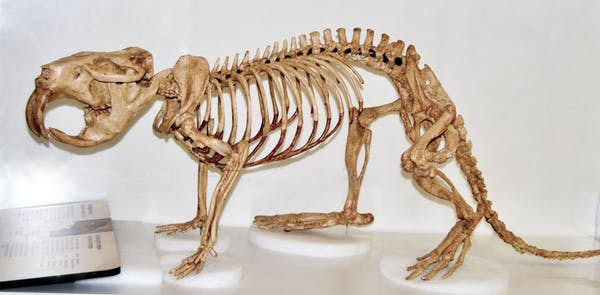Animal skeleton with big teeth on a white background.