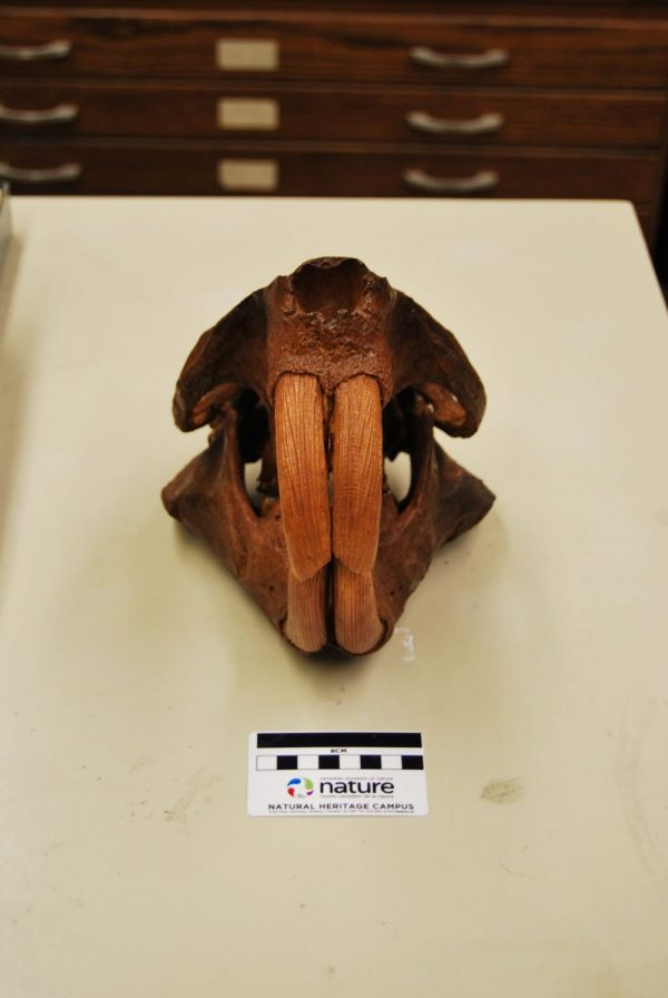 A brown skull with 2 large round tusk-like teeth on the top and bottom.