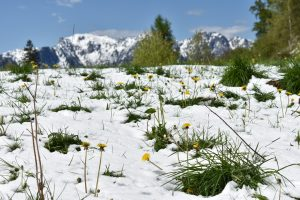 Mountaintop covered in snow, with yellow flowers peeking through, under a blue sky.