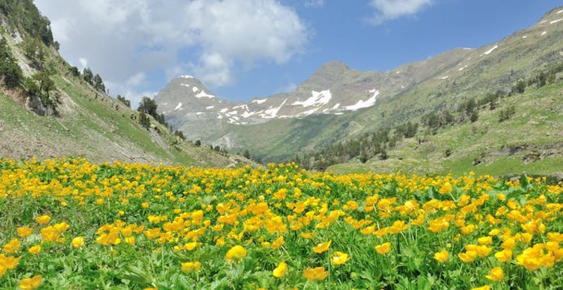 Mountains with snow patches in distance, foreground field of yellow flowers.