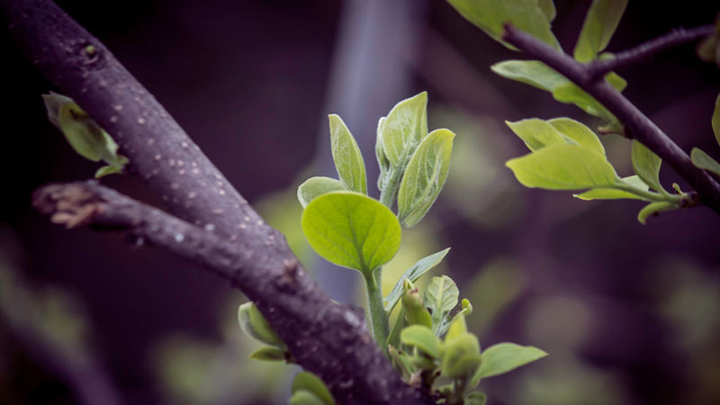 Closeup of new, unfolding leaves growing from a twig.