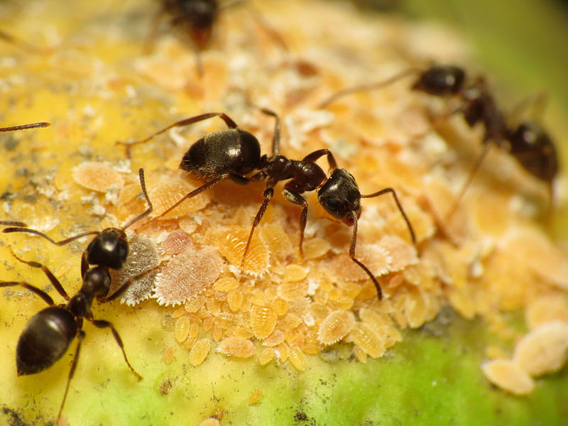 3 black ants tending to a pile of yellow aphids.