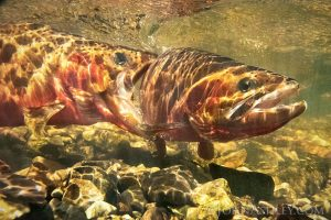 Underwater scene of big trout biting another in
