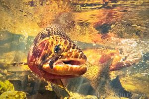 Orange-red fish, viewed front on, spotted, large jaw and eyes, tail visible.