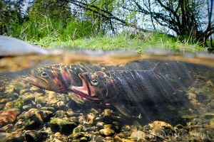 Two fish side by side in sunny stream over pebbles.
