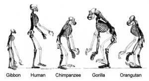 5 skeletons of apes - including a human.