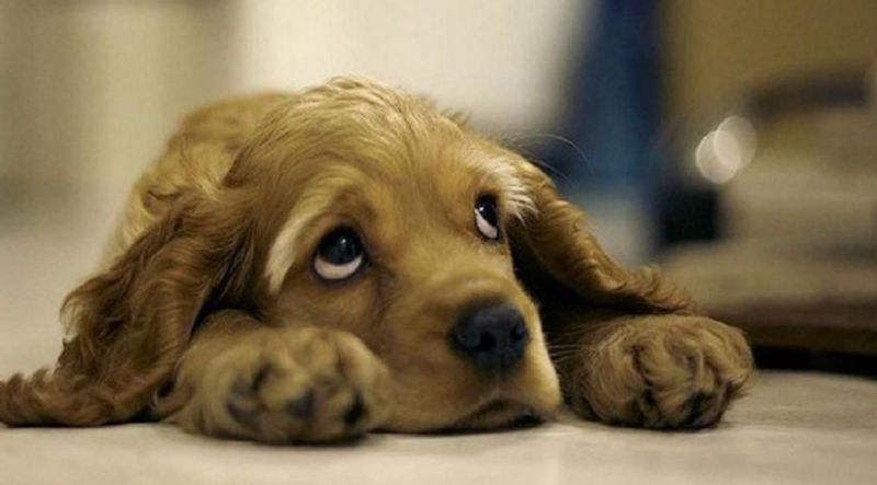 Yellow puppy with chin flat on floor, with a sad face, eyes looking upward.
