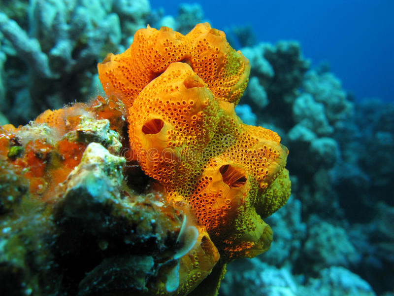 Coral reef scene. Rounded bright orange sponges with large intake holes and very many small outgo holes.