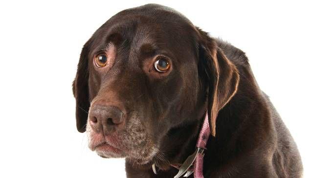 Floppy-eared dark brown dog with sad-looking eyes rolled slightly upward.