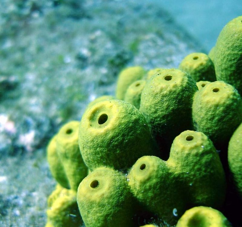 Underwater, barrel-shaped yellow-green tubes with black holes on top and small holes on the sides.
