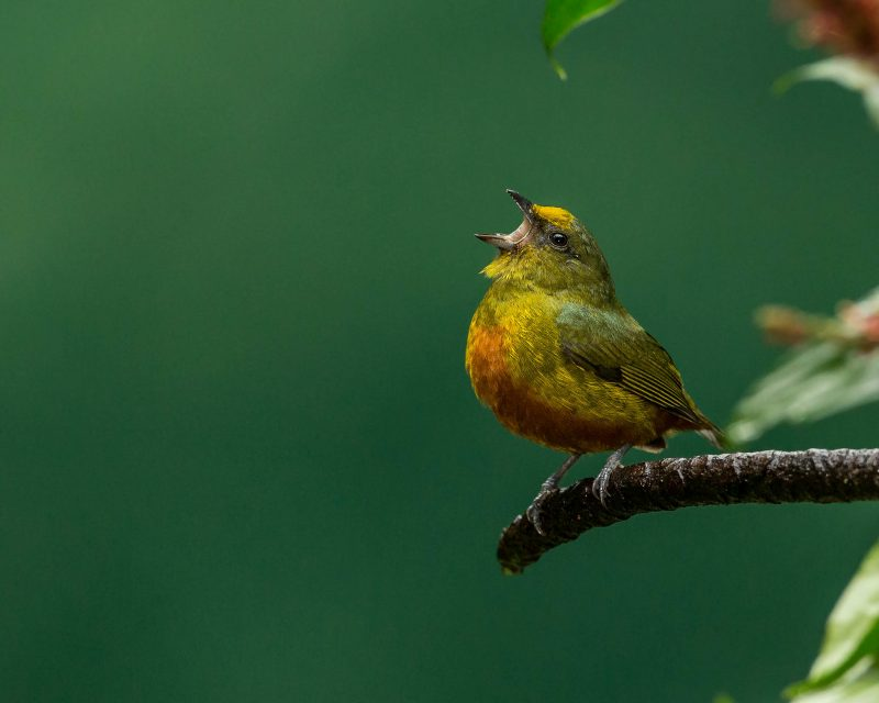 Yellow bird with wide open beak, perched on a branch, against a green background.