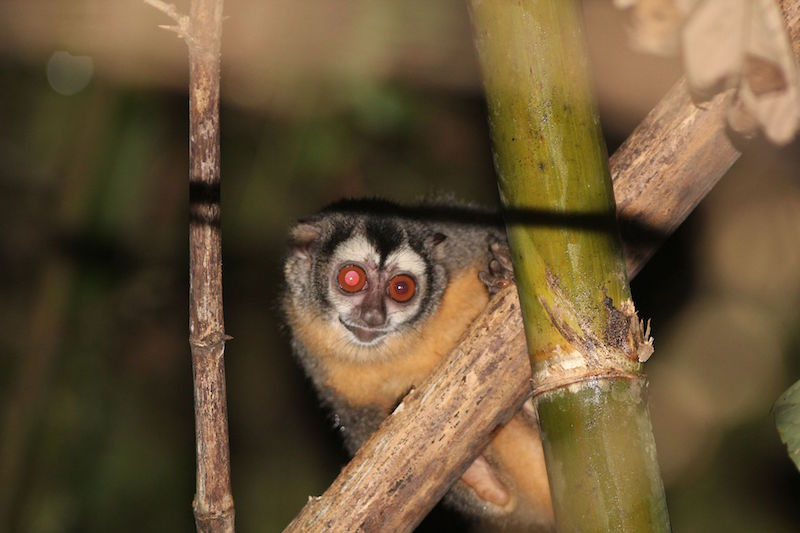 Small furry animal with very big red eyes clinging to large bamboo.