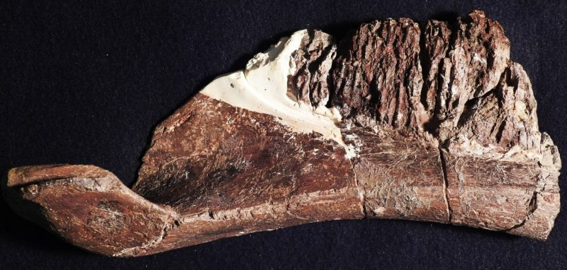 Oblong brown fossil with spoon-like feature at left end.