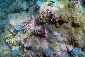 Photo of coral recruitment tiles installed on a reef