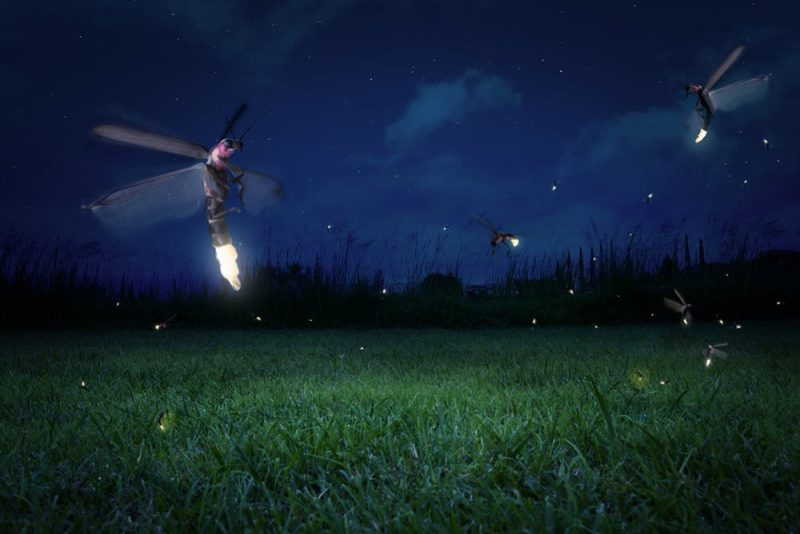 a dark field lit up with fireflies.