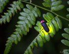 A firefly lighting up on a leaf.