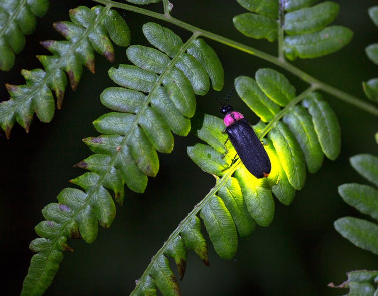 Top view of long beetle on ferny leaf with golden light surrounding its back end.