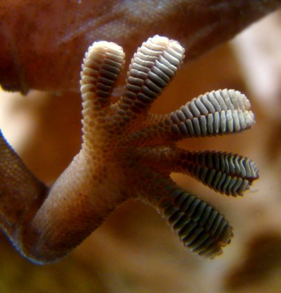 Bottom view through glass of five wide ridged toes.