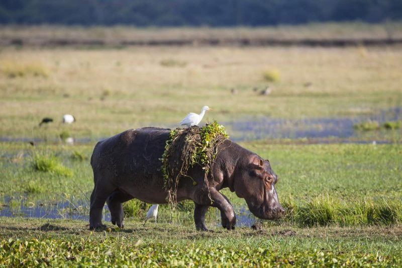 Walking hippo draped in water hyacinths with a white bird sitting on its back.