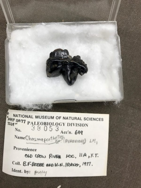 Irregular black pointed object lying on a bed of cotton in a box with a label.