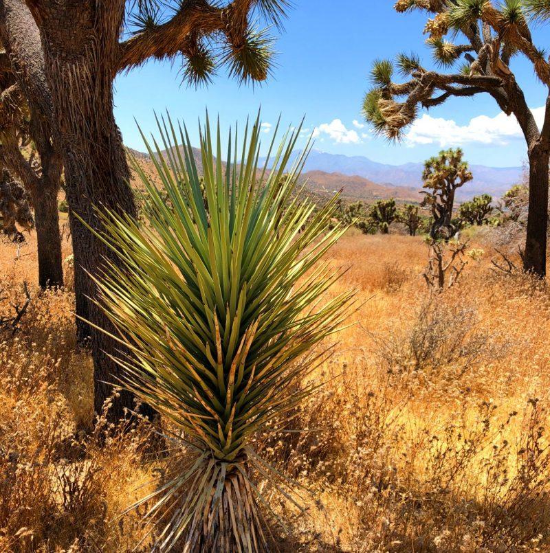 Single brush-like spike-leaved stem protruding from desert floor.