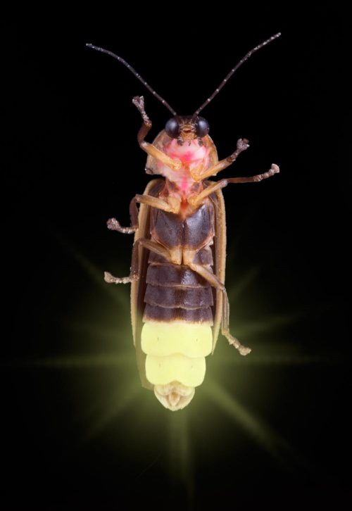 Longish segmented insect seen from underneath with last three segments glowing bright yellow.