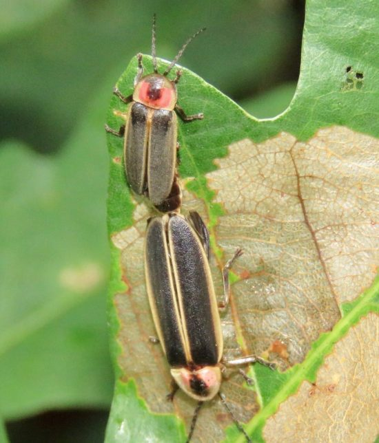 Two longish beetle-like insects backed up to each other touching tail ends.