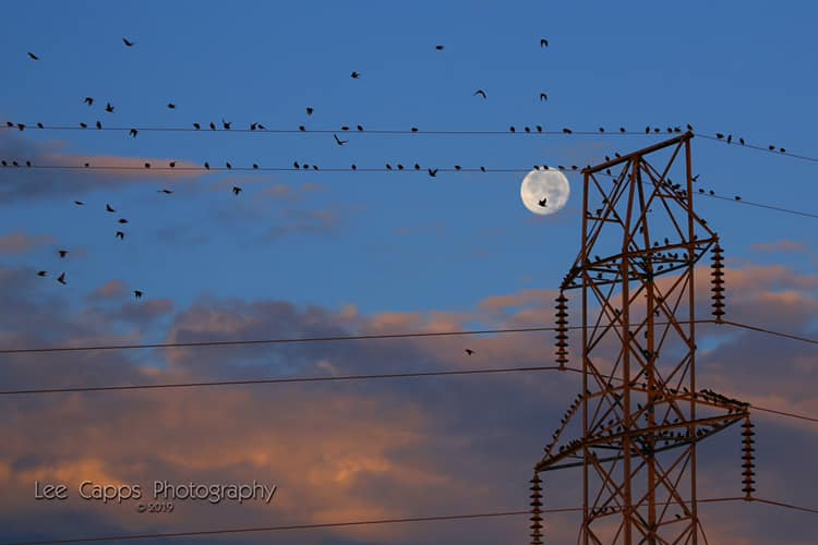 Blue sky, round white moon above pinkish clouds. Power lines with many birds sitting and flying.