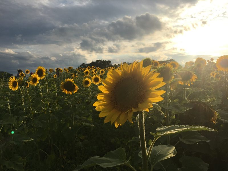 A field of backlit sunflowers under a partly sunny sky.