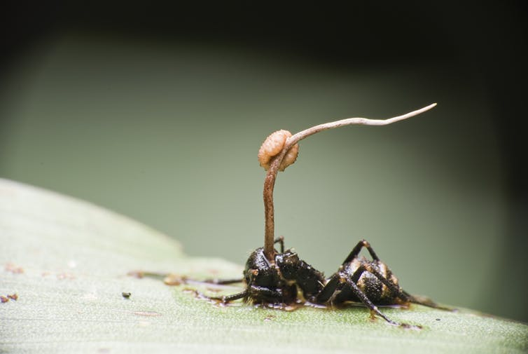Collapsed dead ant with a long tendril with a bulge growing out of its head.