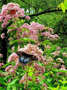 A yellow butterfly, a blue butterfly and an orange butterfly on pink flowering branches.