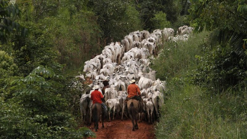 Mounted cowboys herd white cattle crowding a road through the rainforest.