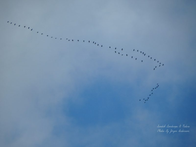 About 60 big, long-necked birds flying very high overhead in long V-shaped formations.