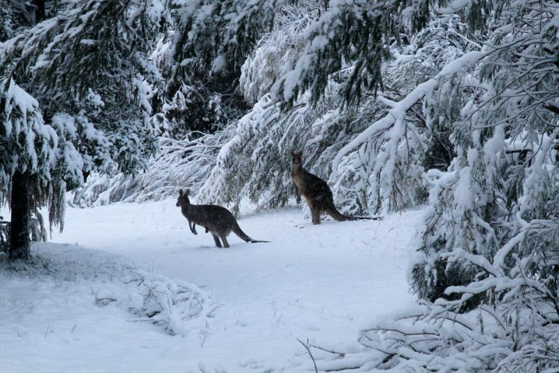 Two kangaroos in a snowy evergreen forest.