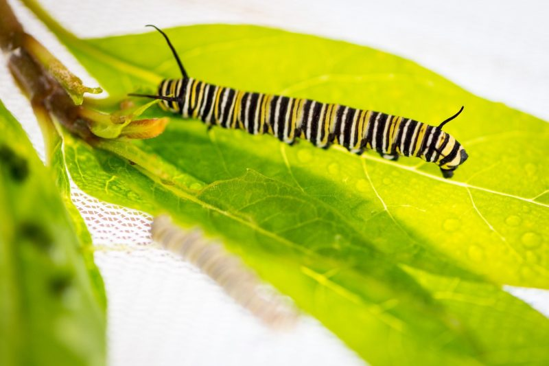 Caterpillar with many narrow crossways stripes in black, yellow, and white, crawling on a leaf.