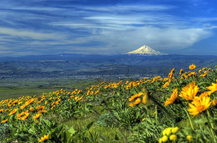 Field with yellow flowers, and in the distance, a conical snow-capped mountain.