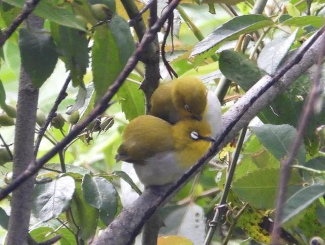 Two fuzzy yellow birds cuddling among leafy branches.